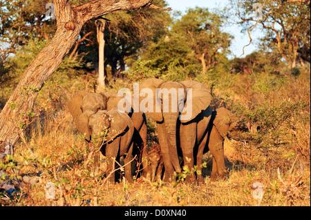 Africa, Bwa Bwata, National Park, Caprivi, Namibia, adults, african, elephants, baby, grasslands, horizontal, protective, - Stock Photo
