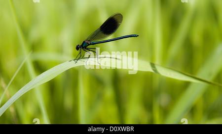 Creek, Calopteryx splendens, fauna, riverside, banded demoiselle, Hasplen, insect, Invertebrata, canton, Zug, dragonfly, - Stock Photo