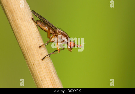 Deer fly isolated on a green background. - Stock Photo