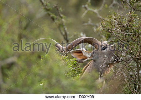 Greater kudu (Tragelaphus strepsiceros) male browsing leaves in dense bush, Addo Elephant National Park, South Africa - Stock Photo