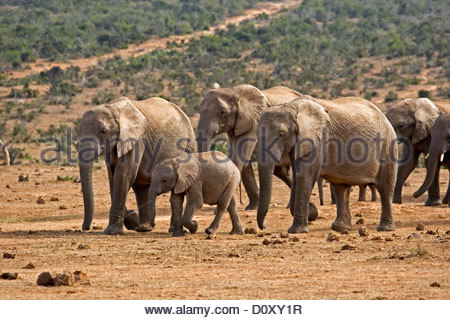 African Elephant (Loxodonta africana) herd with baby approaching waterhole, Addo Elephant National Park, South Africa - Stock Photo