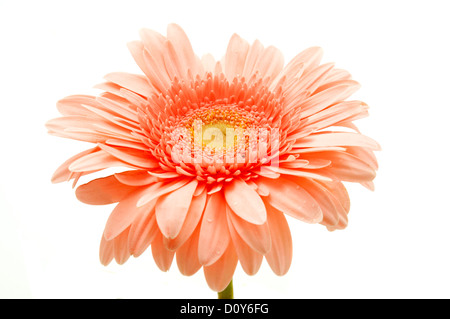 Pink gerbera on a white background - Stock Photo