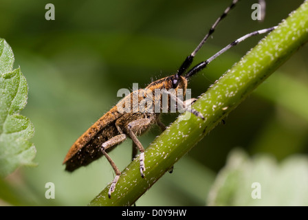 Large brown beetle on stem as background - Stock Photo