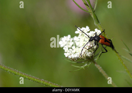 Longhorn beetle (Stictoleptura cordigera - Leptura cordigera) male on umbelliferous flower - Stock Photo
