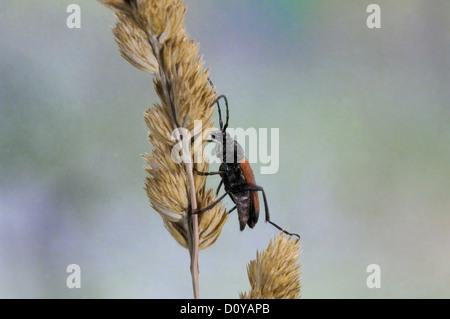Longhorn beetle (Stictoleptura cordigera - Leptura cordigera) male on dry graminaceae - Stock Photo
