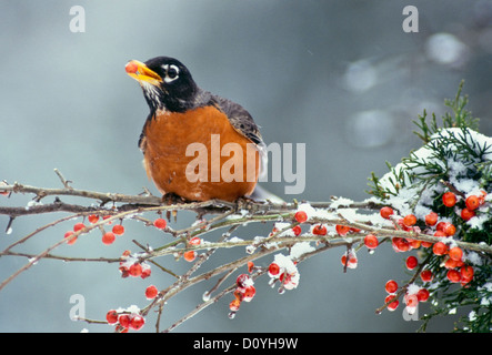An American robin, Turdus migratorius, perches on snowy winter branch of holly holding berry in mouth, USA - Stock Photo