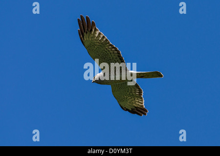 Northern Harrier in flight at Malheur National Wildlife Refuge, Oregon, USA - Stock Photo