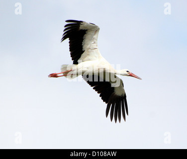 White Stork (Ciconia ciconia)  in flight - Stock Photo