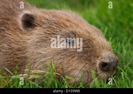 European Beaver,Casper fiber - Stock Photo
