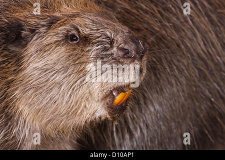 European Beaver,Casper fiber,showing sharp teeth used for felling trees. - Stock Photo