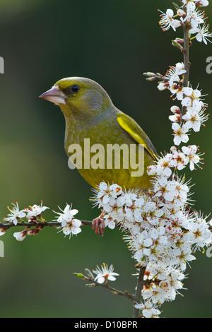 Male Greenfinch (carduelis chloris) single adult sitting on blackthorn blossom, Devon UK - Stock Photo