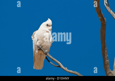 Little Corella sitting on a dead tree. - Stock Photo