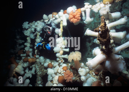 Diver exploring Bridge on Saskatchewan (artificial reef) covered with Giant Plumose Anemone (Metridium farcimen) - Stock Photo