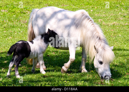 White Miniature horse mare and foal standing on meadow | Miniaturpferd-Stute und Fohlen - Stock Photo