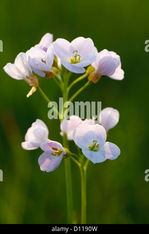 Lady's Smock or Cuckoo Flower (Cardamine pratensis) in evening light. Flowering in a meadow on an Organic farm. - Stock Photo