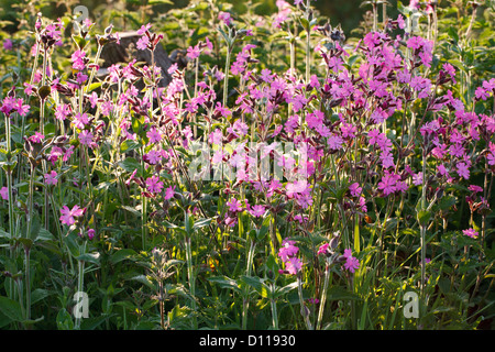 Red Campion (Silene dioica) flowering. Shropshire, England. May. - Stock Photo