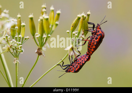 Mating Striped shieldbugs (Graphosoma lineatum italicum) on seeds of an Umbellifer. On the Causse de Gramat, France. - Stock Photo