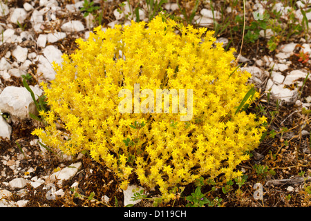 Biting Stonecrop (Sedum acre) flowering in limestone scree. On the Causse de Gramat, Lot region, France. June - Stock Photo