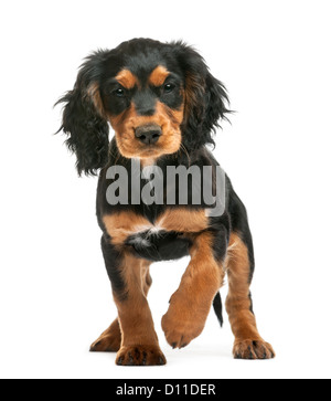 Working Cocker Spaniel, 10 weeks old, looking at the camera against white background - Stock Photo