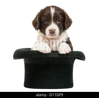 English Springer Spaniel, 5 weeks old, sitting in a top hat against white background - Stock Photo