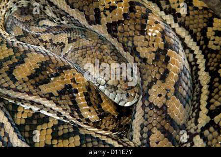 Australian Carpet Snake, A Python, Coiled Up And Dormant On Forest Floor In  Queensland