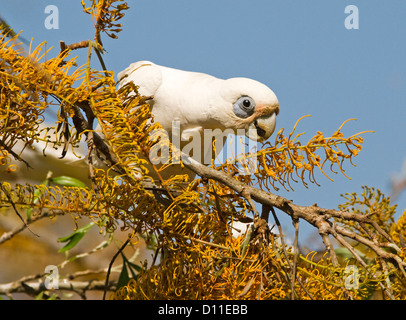 Little corella Cacatua sanguinea, an Australian parrot in the wild feeding on orange flowers of silky oak tree  - Stock Photo