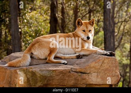 Australian dingo - native dog Canis lupus / familiaris- on rock in a forest at wildlife sanctuary near Merimbula, - Stock Photo