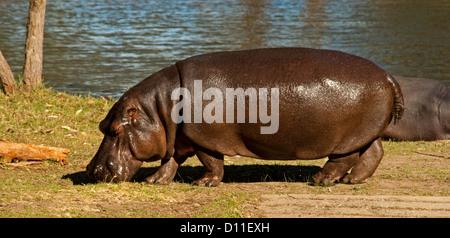 Hippo grazing on grass by lake at Taronga Western Plains zoo, Dubbo, western NSW Australia - Stock Photo