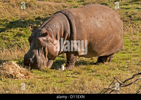 Hippo grazing on grass with a masked plover as a companion at Taronga Western Plains zoo, Dubbo in western NSW Australia - Stock Photo