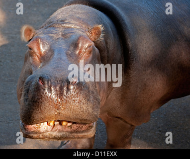 Close up of face of hippo at Taronga Western Plains zoo, Dubbo, NSW Australia - Stock Photo