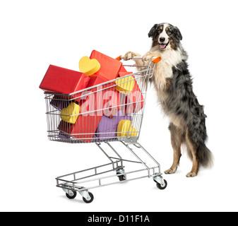 Australian Shepherd pushing a shopping cart full of presents against white background - Stock Photo