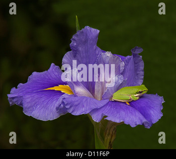 Spectacular purple flower of Louisiana iris, with dash of yellow flower, & tiny bright green tree frog sitting on - Stock Photo