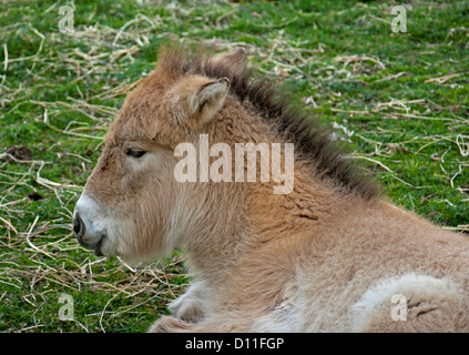 Przhewalski horse foal lying down at Taronga Western Plains zoo, Dubbo, NSW Australia - Stock Photo