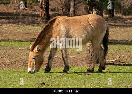 Przhewalski horse grazing at Taronga Western Plains zoo, Dubbo, NSW Australia - Stock Photo