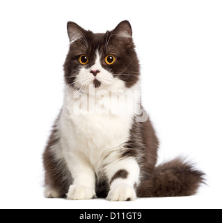British Longhair cat sitting against white background - Stock Photo