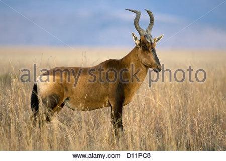 Red Hartebeest (Alcelaphus buselaphus) on the savanna, Mountain Zebra National Park, South Africa - Stock Photo