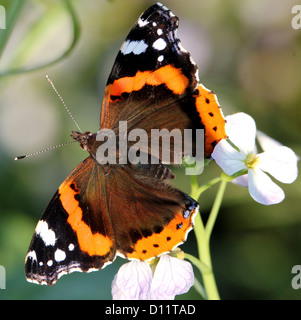 Macro of Red admiral butterfly (vanessa atalanta) feeding on flower, dorsal view - Stock Photo