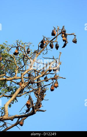 Fruit bat (flying fox) colony hanging in a tree in Tissamaharama, Sri Lanka. - Stock Photo