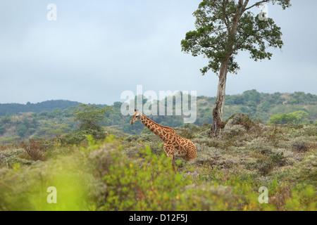 Giraffe in Arusha National Park, Tanzania, Africa - Stock Photo