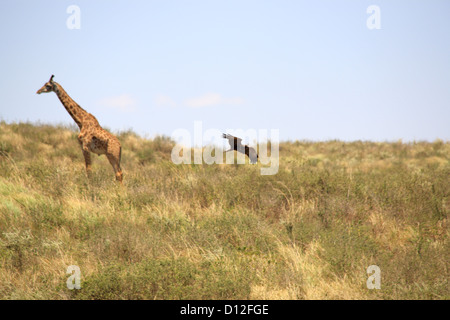 Giraffe in Arusha National Park, Tanzania, Africa - Stock Photo