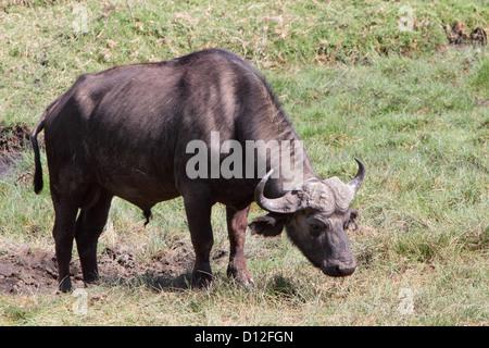 African buffalo. Arusha National Park, Tanzania, Africa - Stock Photo