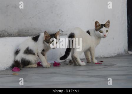 zwei junge Hauskätzchen, Weiss mit Punkten, Kykladen, Griechenland, two kittens, spotted, Cyclades, Greece, Non - Stock Photo