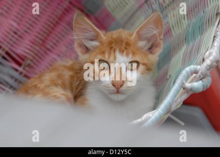 junges Hauskätzchen, Rot Tabby und Weiss, liegt in einem Korb, Dodekanes, Griechenland, kitten, Red Tabby and White, resting in