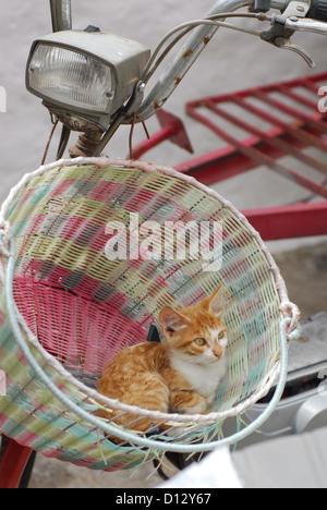 junges Hauskätzchen, Rot Tabby und Weiss, liegt in einem Fahrradkorb, Dodekanes, Griechenland, kitten, Red Tabby and White, rest