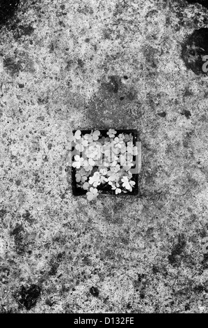 Overhead view of shamrocks on cement - Stock Photo