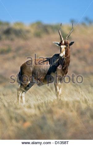 Blesbok or blesbuck (Damaliscus pygargus phillipsi) eating grass on the savanna, Mountain Zebra National Park, South - Stock Photo