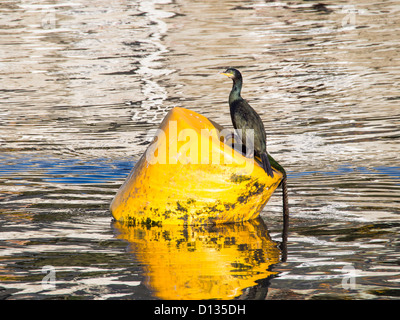 A Shag (Phalacrocorax aristotelis) in Padstow harbour, Cornwall, UK. - Stock Photo