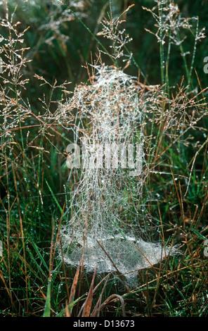 Money / Dainty platform spider scaffold and sheet web (Microlinyphia pusilla: Linyphiidae) UK - Stock Photo