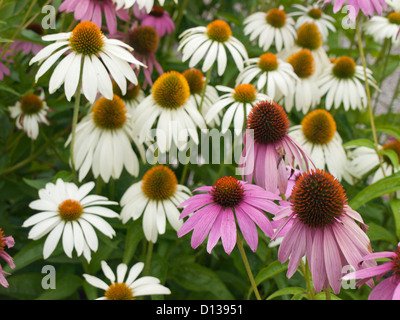 Echinacea purpurea, eastern purple coneflower or purple coneflower, purple and white , from the botanical garden - Stock Photo