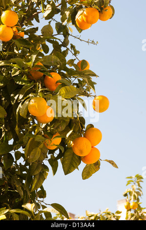 Natural oranges growing on a tree in Malaga - Stock Photo